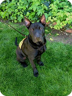Shar Pei Mix Dog for adoption in Phoenix, Arizona - Rooney