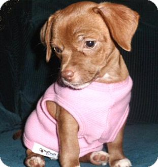 Chihuahua/Pug Mix Puppy for adoption in Mooy, Alabama - Giselle