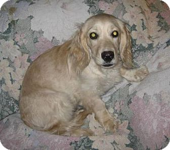 Cocker Spaniel/Dachshund Mix Puppy for adoption in Glendale, Arizona - C.C.