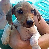 Adopt A Pet :: Anikin - Austin, AR
