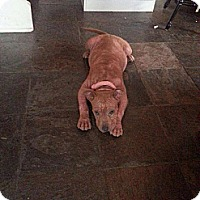 Adopt A Pet :: Piglet - New Orleans, LA