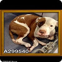 Adopt A Pet :: A299540 Rose - San Antonio, TX