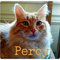 Domestic Mediumhair Cat for adoption in Grand Blanc, Michigan - Percy