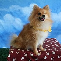 Pomeranian Dog for adoption in Dallas, Texas - Pompeii