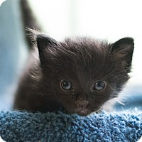 Domestic Shorthair Kitten for adoption in Houston, Texas - Olive
