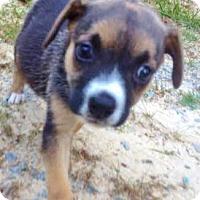 Adopt A Pet :: Ramona, social & sweet sis! - Snohomish, WA