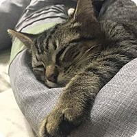 Domestic Shorthair Kitten for adoption in Davie, Florida - Tink