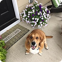 Adopt A Pet :: Maggie May - Cincinnati, OH