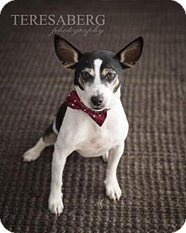 Rat Terrier Mix Dog for adoption in McKinney, Texas - Mr Stuart