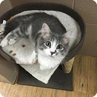 Domestic Shorthair Kitten for adoption in Chicago Heights, Illinois - Sleepy