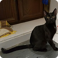 Adopt A Pet :: Patti Panther - Maryville, IL