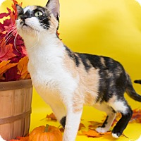 Domestic Shorthair Cat for adoption in Fort Collins, Colorado - Kellyanne