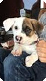 Jack Russell Terrier Mix Puppy for adoption in Rockville, Maryland - Baby Panda (aka Libby)