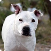 American Pit Bull Terrier Dog for adoption in tucson, Arizona - Snicky
