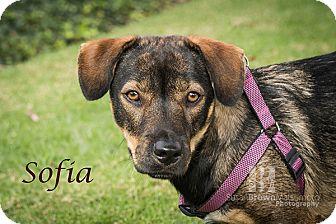 Shepherd (Unknown Type)/Basset Hound Mix Dog for adoption in San Juan Capistrano, California - Sophie