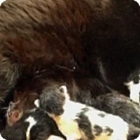 Adopt A Pet :: mom and kittens - Spring, TX