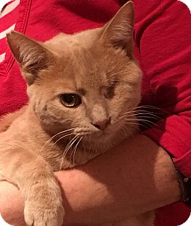 Domestic Shorthair Cat for adoption in Germantown, Maryland - Jack Sparo