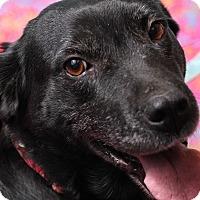 Labrador Retriever/Retriever (Unknown Type) Mix Dog for adoption in Jackson, Tennessee - Raven