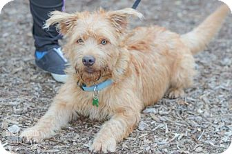 Dandie Dinmont Terrier Mix Dog for adoption in Plano, Texas - Benjamin James