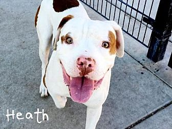 Pit Bull Terrier Dog for adoption in Sacramento, California - *HEATH