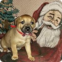 Adopt A Pet :: Sorrel - Orlando, FL