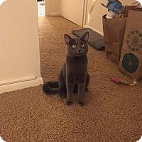 Adopt A Pet :: Goliath - Chicago, IL