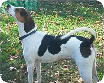 Foxhound Dog for adoption in Waldorf, Maryland - Sawyer