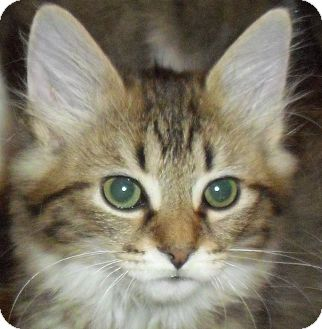 Domestic Longhair Kitten for adoption in Fairborn, Ohio - Charlamayne-Lexington Litter