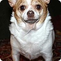 Adopt A Pet :: Peanut - Sinking Spring, PA