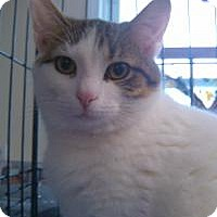 Domestic Shorthair Cat for adoption in Ringwood, Illinois - Archer