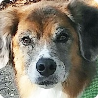 Adopt A Pet :: Ginger - Chesterfield, MO