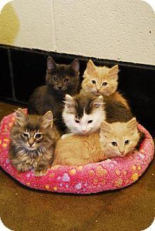 Domestic Shorthair Kitten for adoption in Akron, Ohio - Kittens!