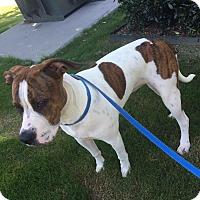 Adopt A Pet :: Harper - Albemarle, NC