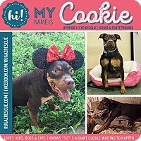 Pit Bull Terrier Mix Dog for adoption in New Port Richey, Florida - Cookie