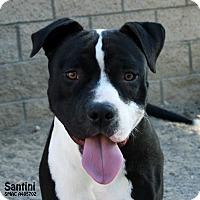 Adopt A Pet :: Santini - Santa Maria, CA