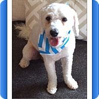 Adopt A Pet :: Theo - TX - Tulsa, OK