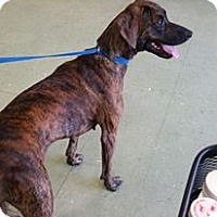 Coonhound (Unknown Type)/Pointer Mix Dog for adoption in Cleveland, Mississippi - BRAYLEY