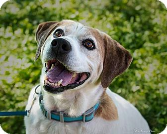 Beagle/American Bulldog Mix Dog for adoption in Toronto, Ontario - Andy