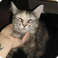 Domestic Mediumhair Cat for adoption in Charlotte, Michigan - Clarice
