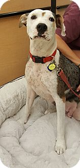 Catahoula Leopard Dog/German Shorthaired Pointer Mix Dog for adoption in Gilbert, Arizona - Wilma