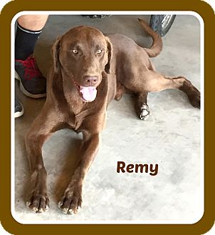 Labrador Retriever Dog for adoption in Malvern, Arkansas - REMY