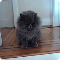 Persian Cat for adoption in Spring Brook, New York - Sasquash