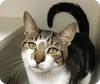 Domestic Shorthair Cat for adoption in New York, New York - BASH-Lap Snuggler'16