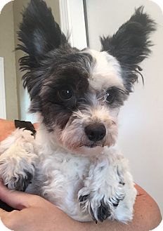 Maltese/Yorkie, Yorkshire Terrier Mix Dog for adoption in St. Petersburg, Florida - Belle