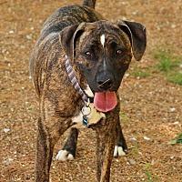 Adopt A Pet :: Brutus - O Fallon, IL