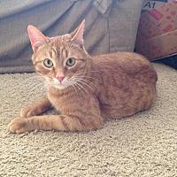 Adopt A Pet :: Nacho - Bloomington, MN