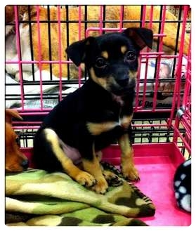 Chihuahua/Dachshund Mix Puppy for adoption in Fowler, California - Emilio