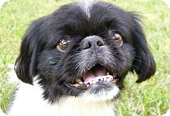 N.c. Pekingese Rescue Oreo | Adopted Dog | M...