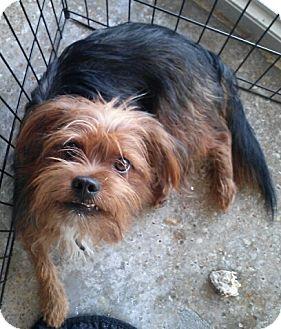 Yorkie, Yorkshire Terrier Mix Dog for adoption in Houston, Texas - Romeo