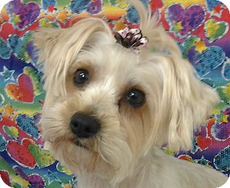 maltese yorkie mix rescue betty adopted dog lexington ky ky maltese yorkie 9327